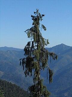 <i>Picea breweriana</i>