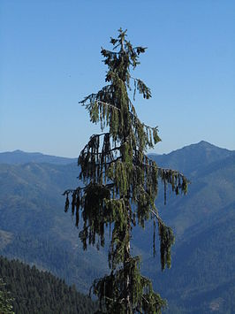 Wild exemplaar, kam boven het Bear Lake,Siskiyou Mountains, Californië