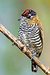 Male ochre-collared piculet