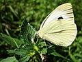 Pieris brassicae (9275227363).jpg