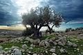 PikiWiki Israel 16440 oliv tree.jpg