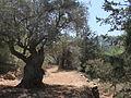 PikiWiki Israel 33187 olive tree.JPG