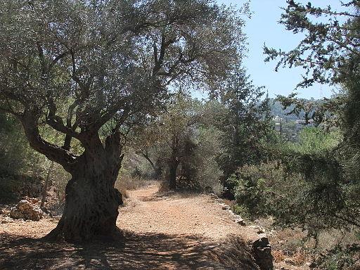 PikiWiki Israel 33187 olive tree