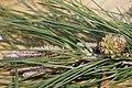Pinaceae Knobcone Pine Pinus attenuata.jpg