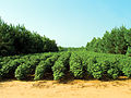 Pine and cotton alley cropping (26168344991).jpg