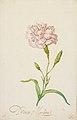 Pink Carnation by Balthasar van der Ast Birmingham Museum of Art 2003.16.jpg