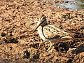 Pintail snipe-from kattampally wetland - 4.jpg