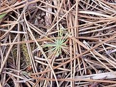 Pinus pinaster seedling.jpg