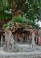 Pipal tree at Gokarneshwor Mahadev temple.jpg