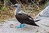Piquero patiazul (Sula nebouxii), isla Lobos, islas Galápagos, Ecuador, 2015-07-25, DD 36.JPG