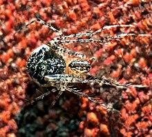Pirate spider female (Mimetidae sp.)