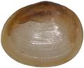 Pisidium pseudosphaerium.png