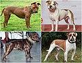 Pit Bull-type dog breeds1.jpg