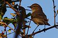 Plain leaf warbler (phylloscopus neglectus).JPG