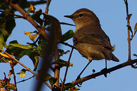 Plain leaf warbler (phylloscopus neglectus).JPG