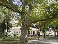 Platan in the Palais-Royal garden, Odessa.jpg