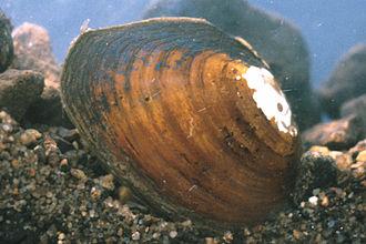 Pleurobema - A live individual of Pleurobema gibberum