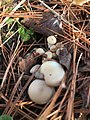 Pleurotus ostreatus 107840485.jpg