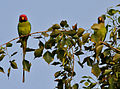 Plum-headed Parakeet (Psittacula cyanocephala) in Hyderabad W IMG 4536.jpg