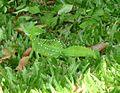 Plumed Basilisk (Basilicus plumifrons) - Flickr - gailhampshire.jpg