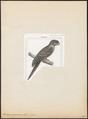 Podargus papuensis - 1838 - Print - Iconographia Zoologica - Special Collections University of Amsterdam - UBA01 IZ16700009.tif