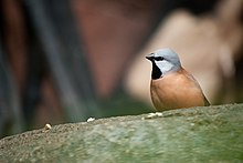 Poephila cincta -Baltimore Aquarium, Baltimore, Maryland, USA-8a.jpg
