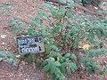 Polygonaceae (തിരുതാന്നി).JPG