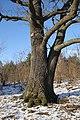Pomnik przyrody - dąb szypułkowy - Marki - panoramio.jpg