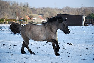 Grullo Color of horses in the dun family