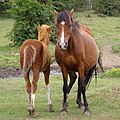 Pony and foal, Dibden Bottom, New Forest - geograph.org.uk - 310270.jpg