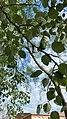 Populus alba zumaia.jpg
