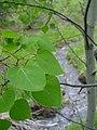 Populus tremuloides foliage.jpg
