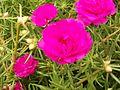 Portulaca grandifloraBR.jpg