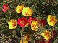 Portulaca grandiflora a1.jpg