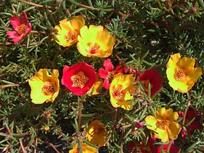 Description de l'image Portulaca grandiflora a1.jpg.