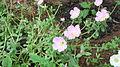 Portulaca oleracea cultiver-1-yercaud-salem-India.JPG