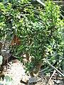 Portulacaria afra - Botanischer Garten München-Nymphenburg - DSC08093.JPG