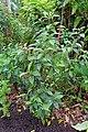 Pouteria campechiana - McKee Botanical Garden - Vero Beach, Florida - DSC03083.jpg