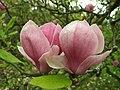 Průhonice, zámecký park, magnolie.JPG