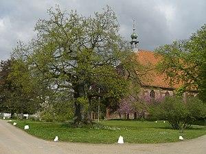 Preetz - Ancient oak tree, Preetz Priory in the background
