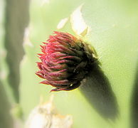 Prickly pear leaf bud