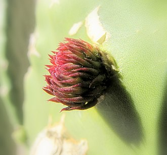Nopal - Image: Prickly pear leaf bud