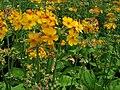 Primulaceae 006.JPG
