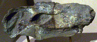 Pristerognathoides - P. minor skull at the Museum für Naturkunde, Berlin