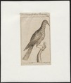 Promerops cafer - 1772-1829 - Print - Iconographia Zoologica - Special Collections University of Amsterdam - UBA01 IZ16100029.tif
