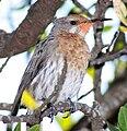 Promerops gurneyi -South Africa-8b.jpg