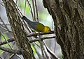 Prothonotary Warbler (34023737823).jpg