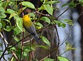 Prothonotary Warbler gets a worm (34535388376).jpg