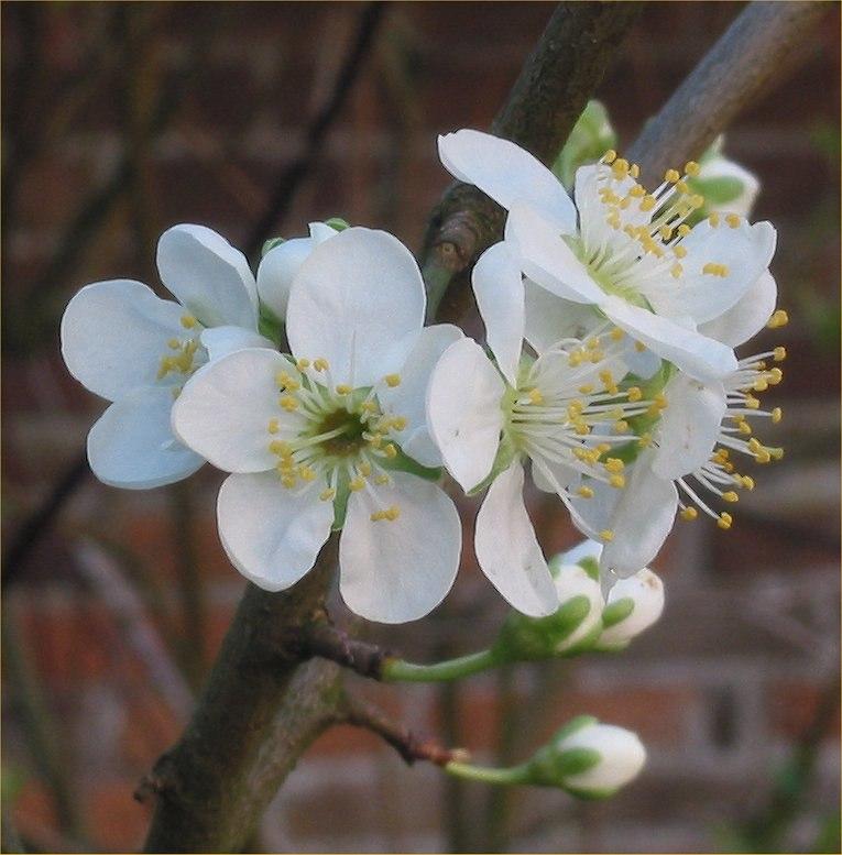 Prunus domestica pruim 'Opal' flowers