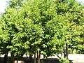 Prunus lusitanica Habitus 2010-9-26 DehesaBoyaldePuertollano.jpg